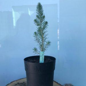 Plantón Pinus pinea 1